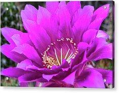 Acrylic Print featuring the photograph Pink Echinopsis Bloom  by Saija Lehtonen