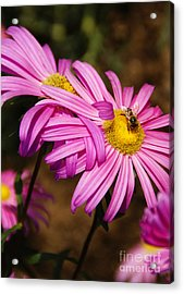 Pink Embrace Acrylic Print by Linda Shafer