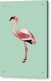 Pink Flamingo Isolated Acrylic Print