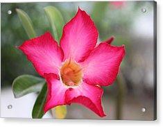 Pink Flower Acrylic Print by Sabina Thomas