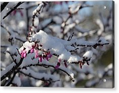 Pink Flower With Snow Acrylic Print
