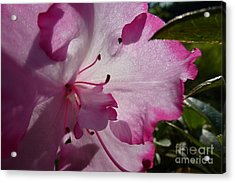 Pink Flowers 1 Acrylic Print
