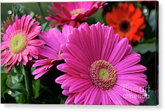 Pink Flowers Acrylic Print by Brian Jones
