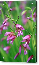 Pink Flowers Of Gladiolus Communis Acrylic Print by Frank Tschakert
