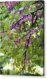 Pink Flowers Of The Love Tree Acrylic Print by Frank Tschakert