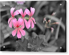 Pink Flowers On A Monochrome Background Acrylic Print