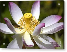 Pink-fringed Lotus Acrylic Print by Amber Lea Starfire