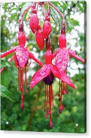 Pink Fuchsia Acrylic Print by Robert Shard