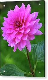 Acrylic Print featuring the photograph Pink Garden Flower by Juergen Roth