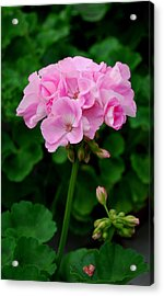 Acrylic Print featuring the photograph Pink Geranium by Marilynne Bull