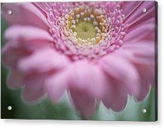 Pink Gerbera 3d Acrylic Print