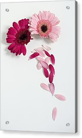 Pink Gerbera Daisies Acrylic Print