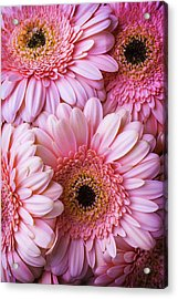 Pink Gerbera Daisy Bunch Acrylic Print