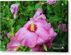 Pink Hibiscus After Rain Acrylic Print by Inspirational Photo Creations Audrey Woods