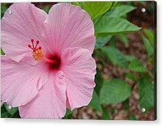 Pink Hibiscus Acrylic Print by Beverly Hammond