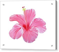 Acrylic Print featuring the painting Pink Hibiscus by Elizabeth Lock