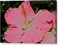 pink hibiscus I Acrylic Print by Eddie Freeman