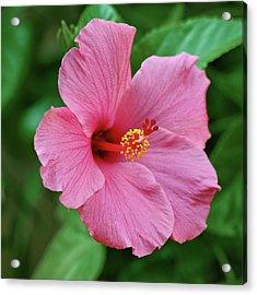 Pink Hibiscus Acrylic Print by Sandy Keeton