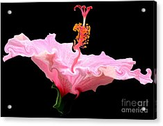 Acrylic Print featuring the photograph Pink Hibiscus With Curlicue Effect by Rose Santuci-Sofranko