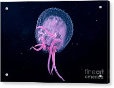 Pink Jellyfish Acrylic Print by Dave Fleetham - Printscapes
