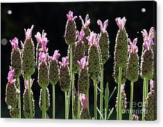 Pink Lavender Acrylic Print