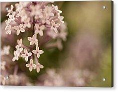 Pink Lilacs Acrylic Print by Liz Howerton