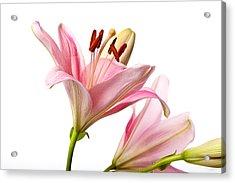 Pink Lilies 03 Acrylic Print