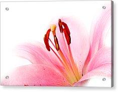 Pink Lilies 08 Acrylic Print by Nailia Schwarz