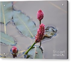 Pink Lily Pad Acrylic Print
