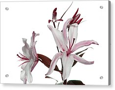 Pink Lily Acrylic Print by Peter Dorrell