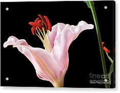 Acrylic Print featuring the photograph Pink Oriental Lily With Bright Red Pollen by David Perry Lawrence