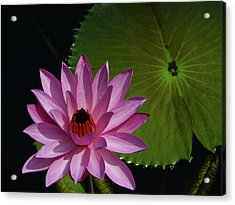 Pink Lotus Acrylic Print by Evelyn Tambour