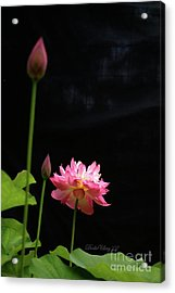 Acrylic Print featuring the photograph Pink Lotus In Black by Dodie Ulery