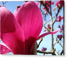Pink Magnolia Flowers Magnolia Tree Spring Art Acrylic Print by Baslee Troutman