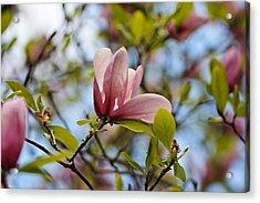 Pink Magnolia Acrylic Print