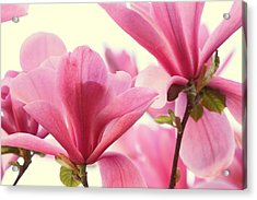 Pink Magnolias Acrylic Print by Peggy Collins