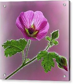 Pink Mallow Flower Acrylic Print