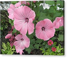 Pink Mandevilles Acrylic Print by Kate Gallagher