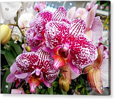 Pink Moth Orchids Acrylic Print