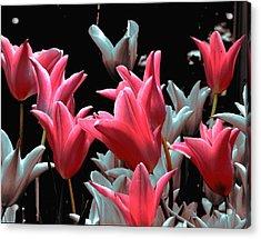 Pink N Silver Tulips Acrylic Print by Irma BACKELANT GALLERIES