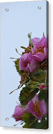 Pink On The Edge Acrylic Print by Jean Booth