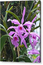 Pink Orchids Acrylic Print by Jeanne  Woods