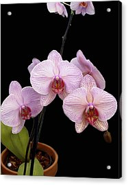 Pink Orchids Acrylic Print by Kurt Van Wagner