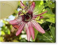 Pink Passiflora Acrylic Print by Elvira Ladocki