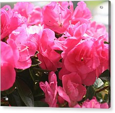 Pink Passion Acrylic Print by Amy Holmes
