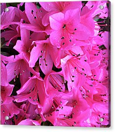 Acrylic Print featuring the photograph Pink Passion In The Rain by Sherry Hallemeier