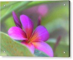 Pink Peekaboo Plumeria Acrylic Print