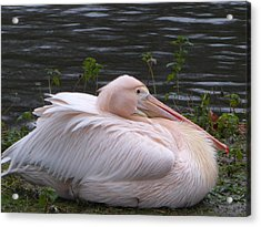 Pink Pelican Acrylic Print by Margaret Brooks