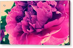 Pink Peonie Acrylic Print by Paul Cutright