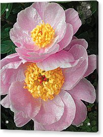 Acrylic Print featuring the photograph Pink Peonies by David Klaboe
